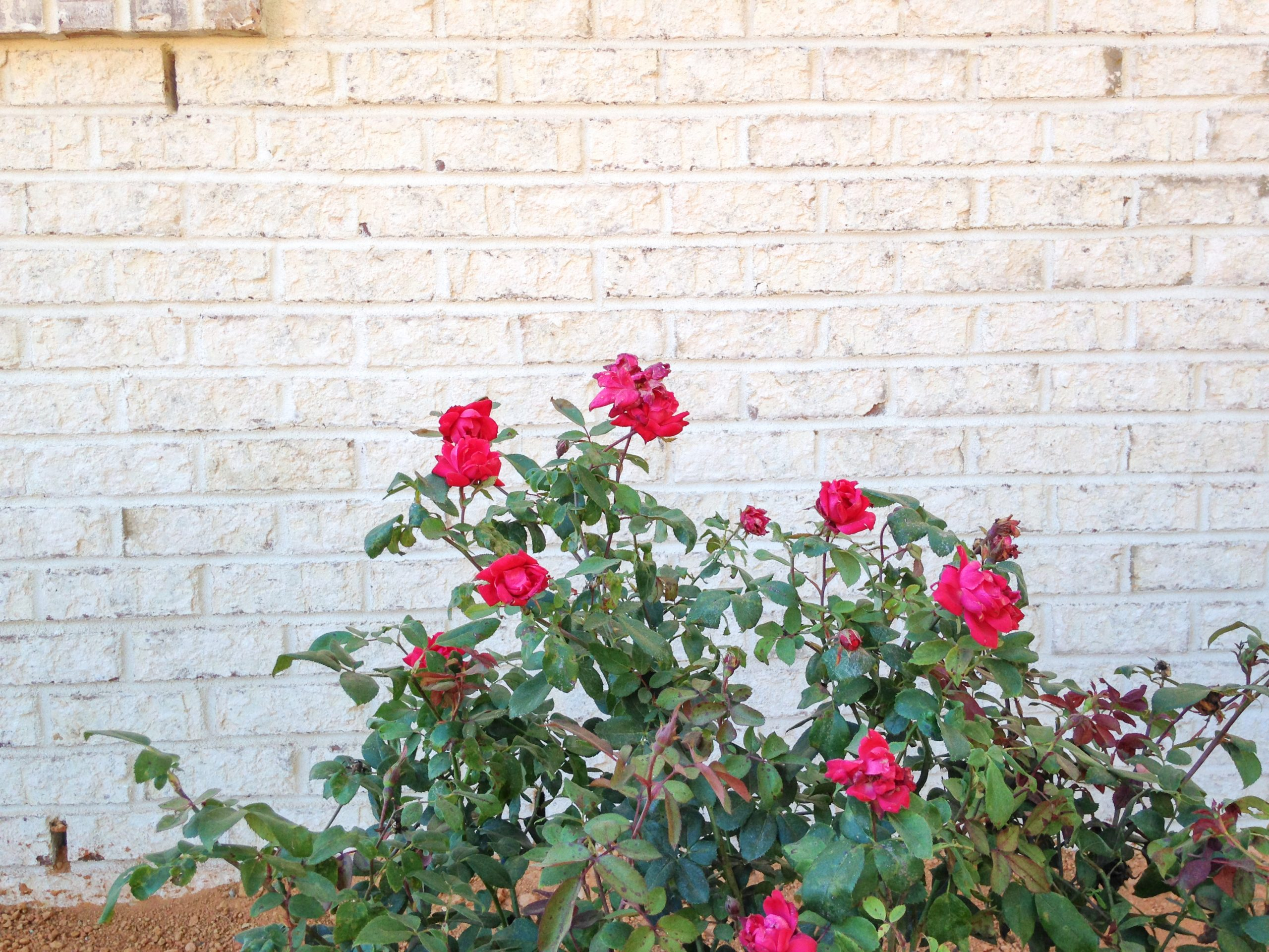 Villa Chase Brick with newly planted roses